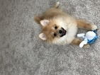 Pomeranian Puppy For Sale in CENTREVILLE, VA, USA