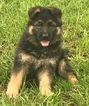 German Shepherd Dog Puppy For Sale in SCHAUMBURG, IL,