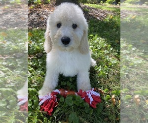 Poodle (Miniature) Puppy for Sale in RICHMOND, Illinois USA