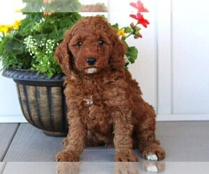 Poodle (Miniature) Puppy for Sale in SAN ANGELO, Texas USA