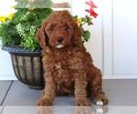 Moyen Poodle for Sale San Angelo Tx