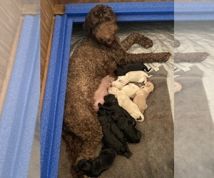 Mother of the Goldendoodle puppies born on 08/24/2020