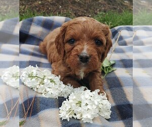 Cavalier King Charles Spaniel-Poodle (Toy) Mix Puppy for sale in CLARE, IL, USA
