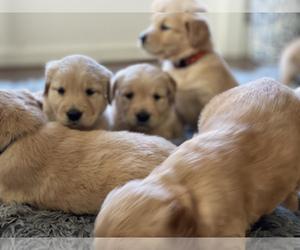 Golden Retriever Puppy for Sale in W SACRAMENTO, California USA