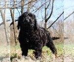 Puppy 3 Golden Retriever-Goldendoodle Mix
