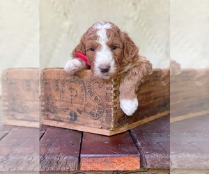 Irish Doodle Puppy for sale in SILVERDALE, WA, USA