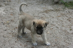 Anatolian Shepherd Puppy For Sale in FORT WHITE, FL, USA