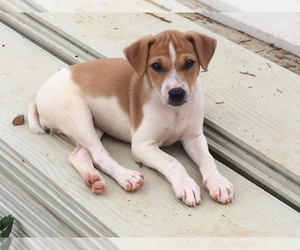 Jack Russell Terrier Puppy for sale in HURRICANE MILLS, TN, USA