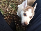 Siberian Husky Puppy For Sale in WILTON MANORS, FL,