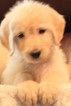 Labradoodle Puppy For Sale near 78232, Hollywood Park, TX, USA