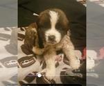 Puppy 14 Saint Bernard