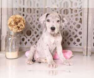 Great Dane Puppy for sale in MOUNT VERNON, OH, USA