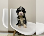 Puppy 2 Bernedoodle