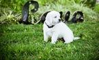 Golden Retriever Puppy For Sale in LA PORTE, TX, USA