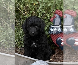 F2 Aussiedoodle Puppy for Sale in CRESTON, California USA