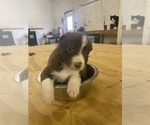 Small Photo #5 Border Collie Puppy For Sale in SAINT JAMES, MO, USA
