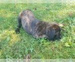Image preview for Ad Listing. Nickname: Brindle