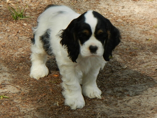 Cocker Spaniel Puppy For Sale in BEECH ISLAND, SC
