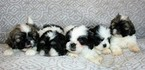 Gorgeous Maltese Shih Tzu Puppies