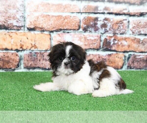 View Ad: Shih Tzu Puppy for Sale near In United Arab Emirates