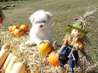 Maltese Puppy for sale in JACKSON, KY, USA