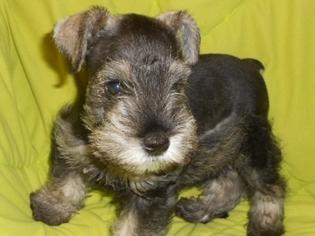 View Ad Schnauzer Miniature Puppy For Sale North Carolina