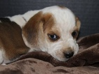 Beagle Puppy For Sale in THAYER, MO,