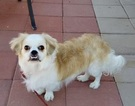 Pekingese-Unknown Mix Dog For Adoption in CHANDLER, AZ, USA
