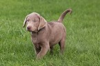 Labrador Retriever Puppy For Sale in NEW PITTSBURGH, OH, USA