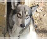 Small Wolf Hybrid