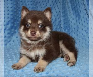 Pomsky Puppy for Sale in DENTON, Texas USA