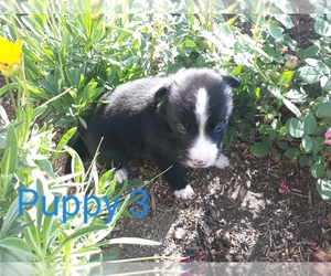 Border Collie Puppy for Sale in ORACLE, Arizona USA