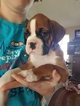 Boxer Puppy For Sale in PLEASANT HILL, IL