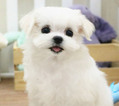 Purebred Maltese Caden Available To See In Person
