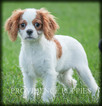 Cavalier King Charles Spaniel Puppy For Sale in COPPOCK, IA, USA