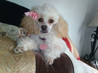 Poodle (Toy) Puppy for sale in HUDSON, FL, USA