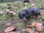 Dachshund Puppy For Sale in ADDISON, AL, USA