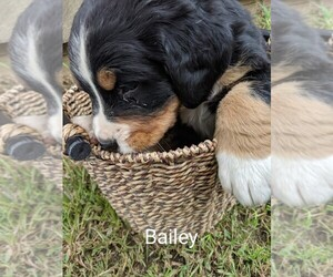 Bernese Mountain Dog Puppy for sale in BONNERS FERRY, ID, USA