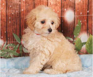 Maltipoo Dog for Adoption in PENNS CREEK, Pennsylvania USA
