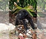 Small #6 Black Mouth Cur-Labrador Retriever Mix