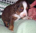 Miniature Australian Shepherd Puppy For Sale in HILLIARD, OH,