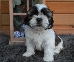 Shih Tzu Puppy for sale in HONEY BROOK, PA, USA