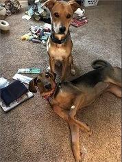 American Foxhound Mix Dog for Adoption in MISSOURI CITY, Texas USA