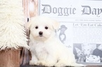 Maddie Wonderful Female Maltese Puppy
