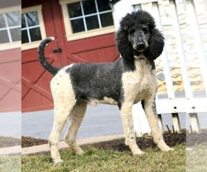 Father of the Bernedoodle puppies born on 02/19/2021