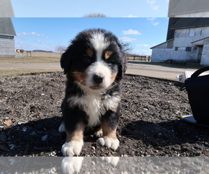 Bernese Mountain Dog Puppy for sale in JACKSON, MI, USA
