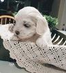 Coton de Tulear Puppy For Sale in SALT LAKE CITY, UT, USA
