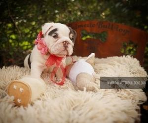 English Bulldog Puppy for sale in SUMM, SC, USA