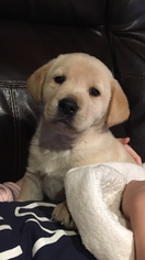 Labrador Retriever Puppy for sale in CAIRO, MO, USA