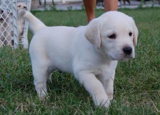 Golden retriever pups for sale bristol